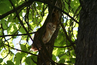 Owl in our tree | by hoxie1963