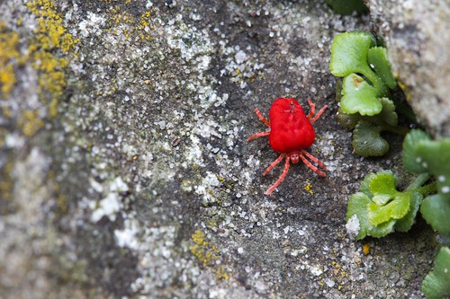 Red Velvet Mite | by Keith Marshall