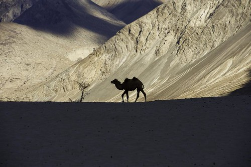 Sand dunes . Nubra valley. Ladakh. India | by courregesg