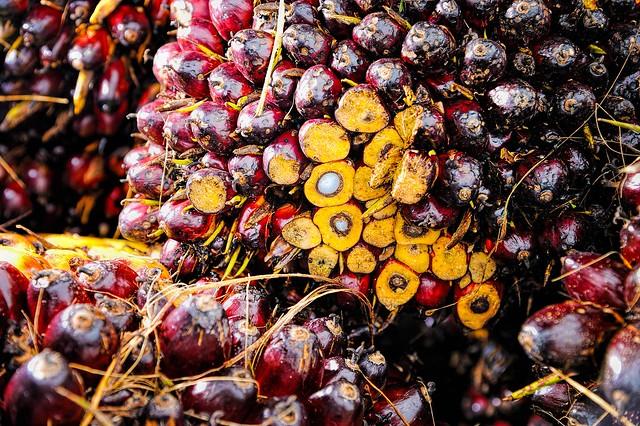 棕櫚果實。圖片來源:pixabay。CC0 Public Domain