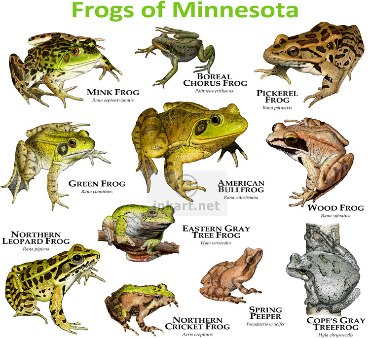 Frogs Species of Minnesota | A collections of all eleven ...