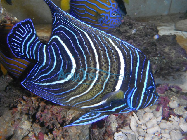 Koran angelfish - photo#21