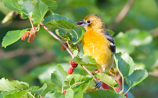 Baltimore Oriole by Steve Gifford | by Steve Gifford - IN
