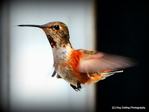 Rufous humming bird (female) Gilford Island, BC | by Roy Ostling
