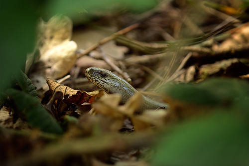 Slowworm | by hairyduck