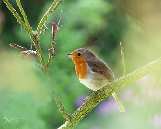 Singing robin | by Studyjunkie
