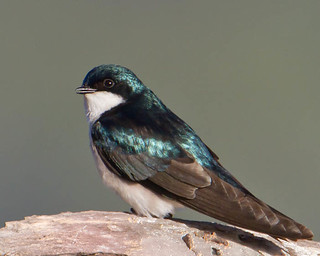 Tree Swallow--Tachycineta bicolor | by Dave_Lawrence