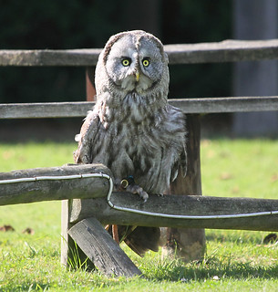 Great Grey Owl at the Suffolk Owl Sanctuary | by Ian Press Photography