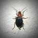 Bombardier Beetle?