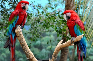 Scarlet macaws | by teohwp85
