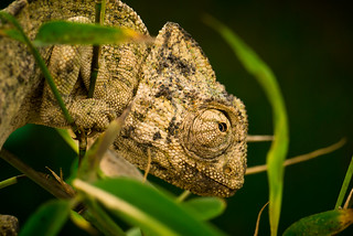 4 - I'm Leon, the chameleon who wants to be an ... | by aminefassi