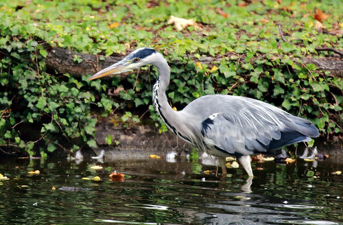 J77A3259 -- Grey heron in shallow waters | by Nils Axel Braathen