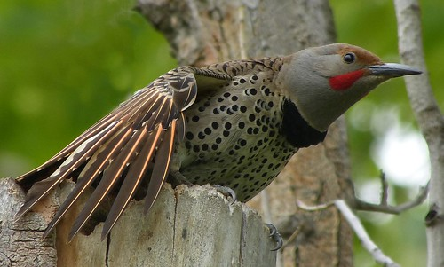 northern flicker yoga time | by mikewiz