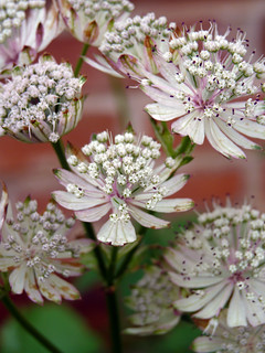 Astrantia major 'Shaggy' | by celerycelery