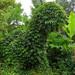 Prehistoric Plant IMG_4404