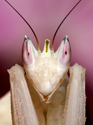 Orchid Mantis Portrait | by scott cromwell