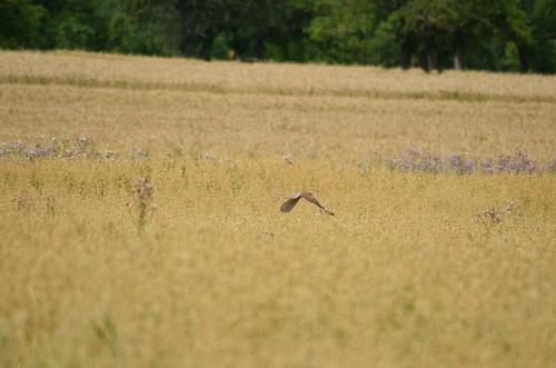 0220 Greifvogel fliegt tief über dem Kornfeld