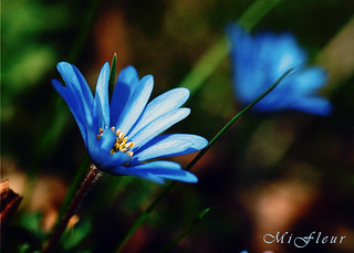 Anemone-bleu-hdr | by MiFleur...Thanks for visiting!