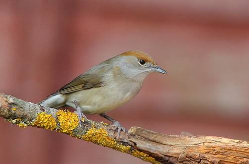 Blackcap | by nick Stacey