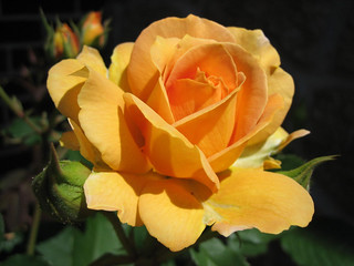 Yellow ochre-hybrid-rose | by Thebiblequotes