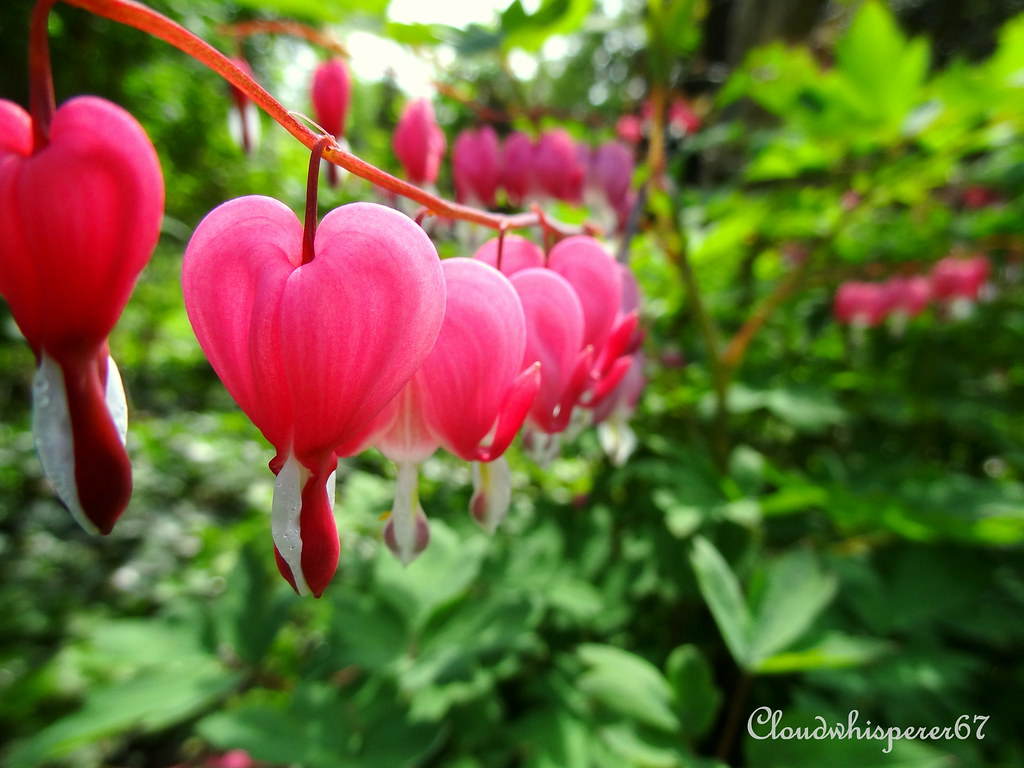 pink bleeding heart coeur de marie dicentra spectabili flickr. Black Bedroom Furniture Sets. Home Design Ideas