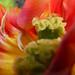 Coeur de Tulipe... P1040834