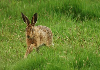 Brown Hare | by jimbrownrosyth