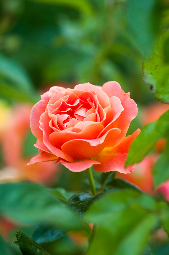 Simple Rose Garden: Red Butte Garden; Salt Lake City, Utah