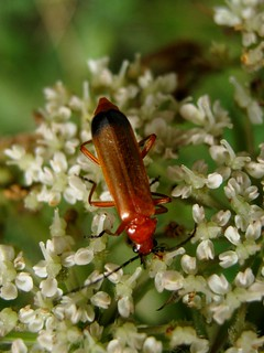 Rhagonycha fulva Soldier Beetle | by The Narcoleptic Naturalist