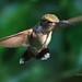 Adult Female Ruby-throated Hummingbird .  #6