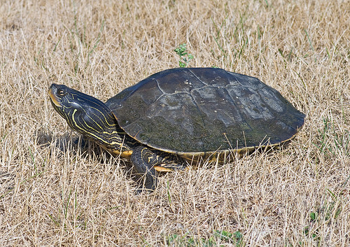 Northern Map Turtle (Graptemys geographica) | by monon738