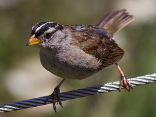 white-crowned sparrow in San Francisco, CA | by Rob Ireton