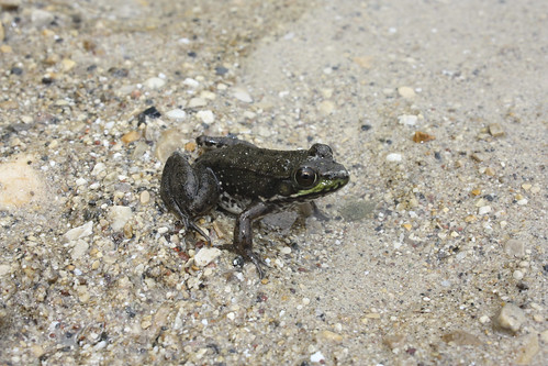 Long Lake, Wisconsin Frog | by caffeineandpixels