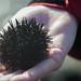 Urchin, Arrawarra, NSW