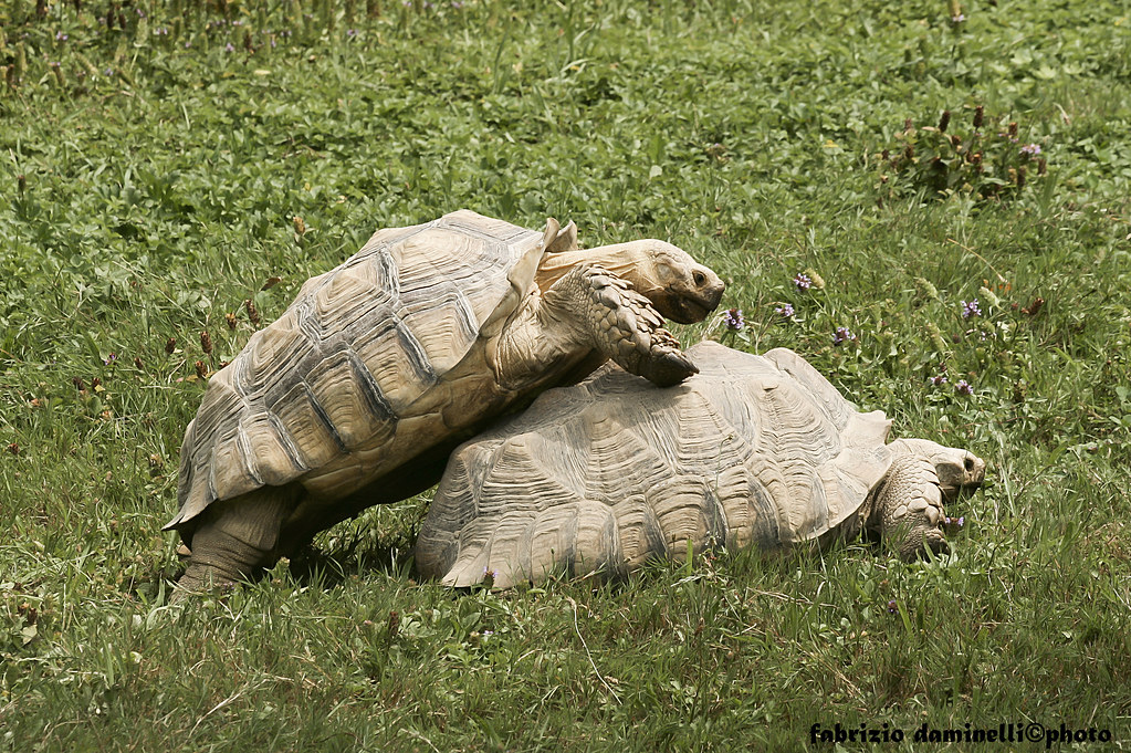 turtles in love tartarughe in amore fabrizio daminelli