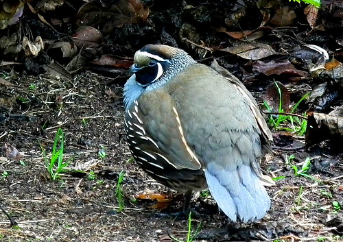 The California Quail, Callipepla californica | by chris new kiwi