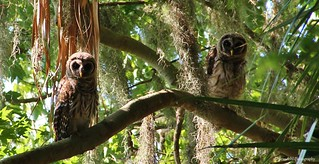 Owls @CBBR - IMG_0514 60D | by Brandohl Photography [Wendy]