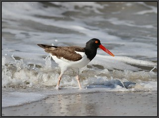 American Oystercatcher in the surf | by Eric C. Reuter