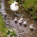 Cygnets at Ansty, Wilts 15