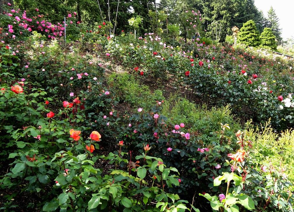 The International Rose Test Garden Portland Oregon Flickr