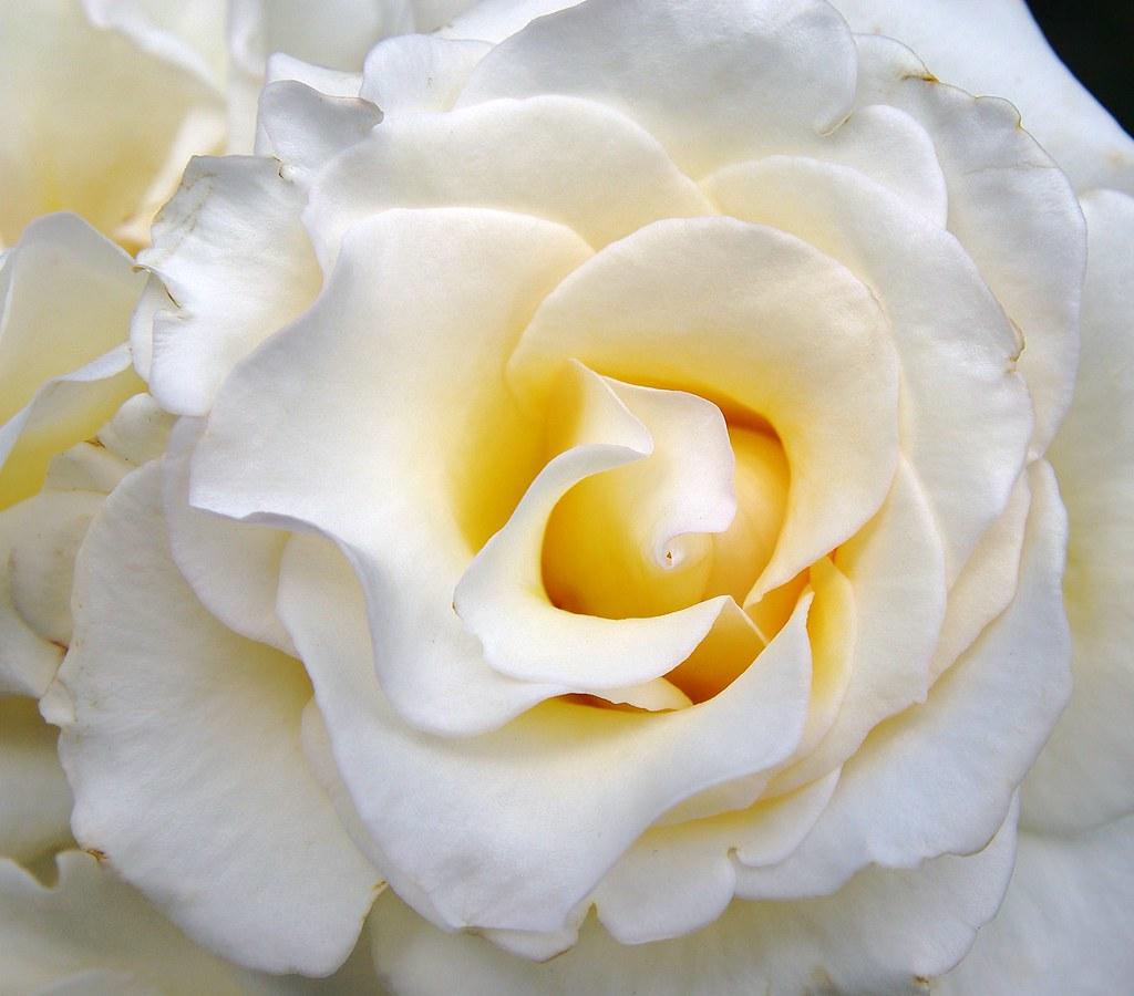 White rose from president Snow... | noahspaeder | Flickr