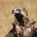 Abutre-preto / Cinereous Vulture