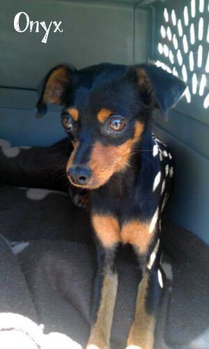 ONYX | Min-Pin/Chihuahua Mix (Male, Puppy) | AVAILABLE! | by Barks Of ...
