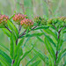 The Guardian - Butterfly Weed (Asclepias Tuberosa L.)