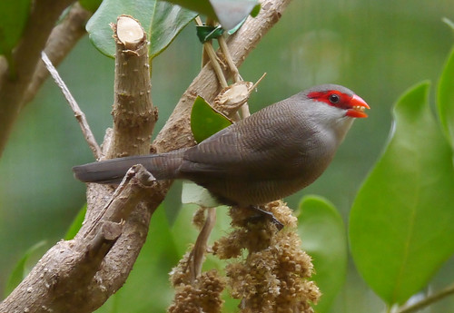 common waxbill | by foxtail_1