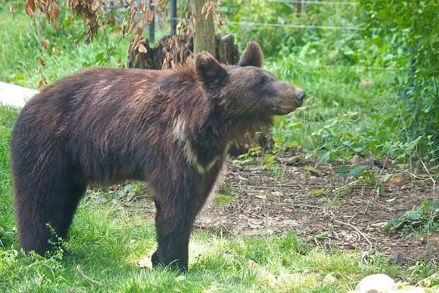 brown bear / Braunbär