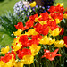 Nikon AF-S 85f1.8D Tulips @f2.8 51617