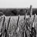 Wheat field - Shenley