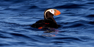 Tufted Puffin 花魁鳥(簇絨海鸚) 6Z2K9300-1 | by ABERLIN2009