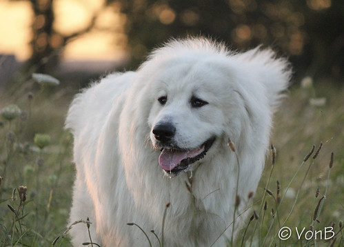 Hoss | by VonB dogphotos